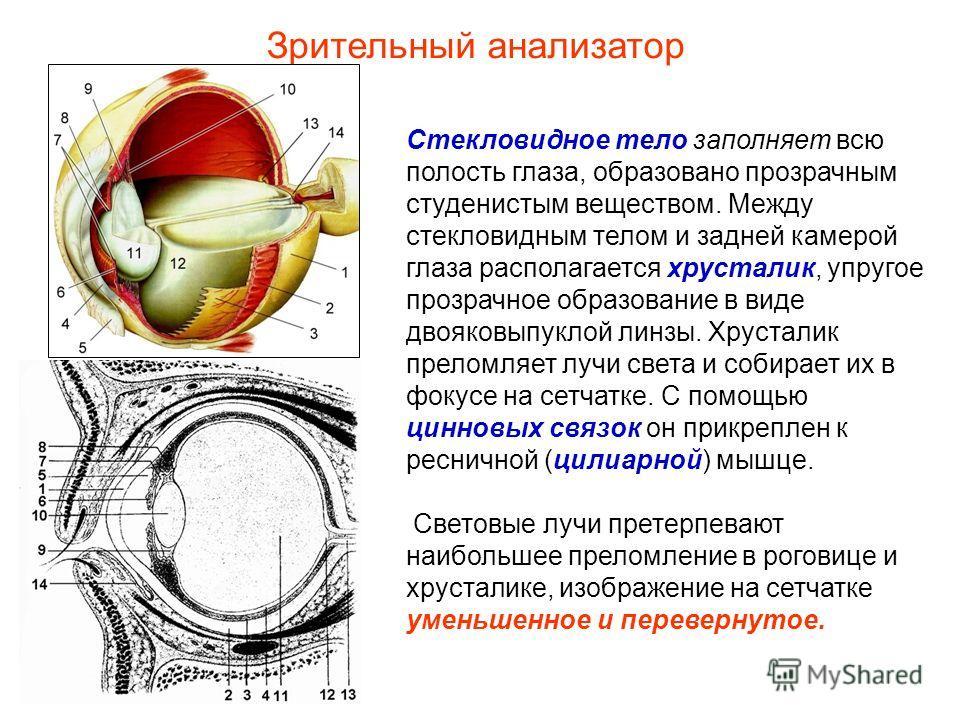 Стекловидное тело заполняет всю полость глаза, образовано прозрачным студенистым веществом. Между стекловидным телом и задней камерой глаза располагается хрусталик, упругое прозрачное образование в виде двояковыпуклой линзы. Хрусталик преломляет лучи