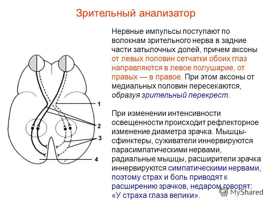 Нервные импульсы поступают по волокнам зрительного нерва в задние части затылочных долей, причем аксоны от левых половин сетчатки обоих глаз направляются в левое полушарие, от правых в правое. При этом аксоны от медиальных половин пересекаются, образ
