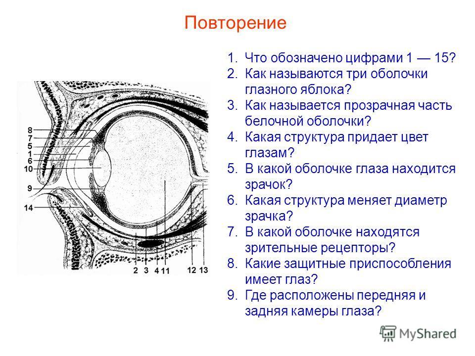 Повторение 1.Что обозначено цифрами 1 15? 2.Как называются три оболочки глазного яблока? 3.Как называется прозрачная часть белочной оболочки? 4.Какая структура придает цвет глазам? 5.В какой оболочке глаза находится зрачок? 6.Какая структура меняет д