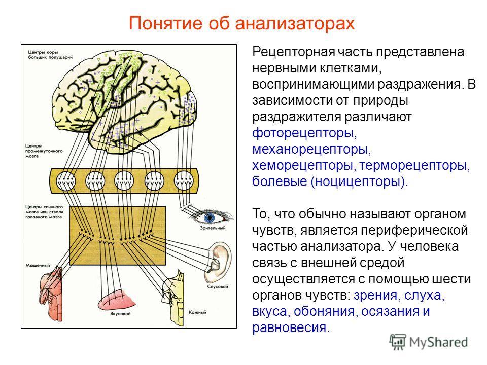 Рецепторная часть представлена нервными клетками, воспринимающими раздражения. В зависимости от природы раздражителя различают фоторецепторы, механорецепторы, хеморецепторы, терморецепторы, болевые (ноцицепторы). То, что обычно называют органом чувст