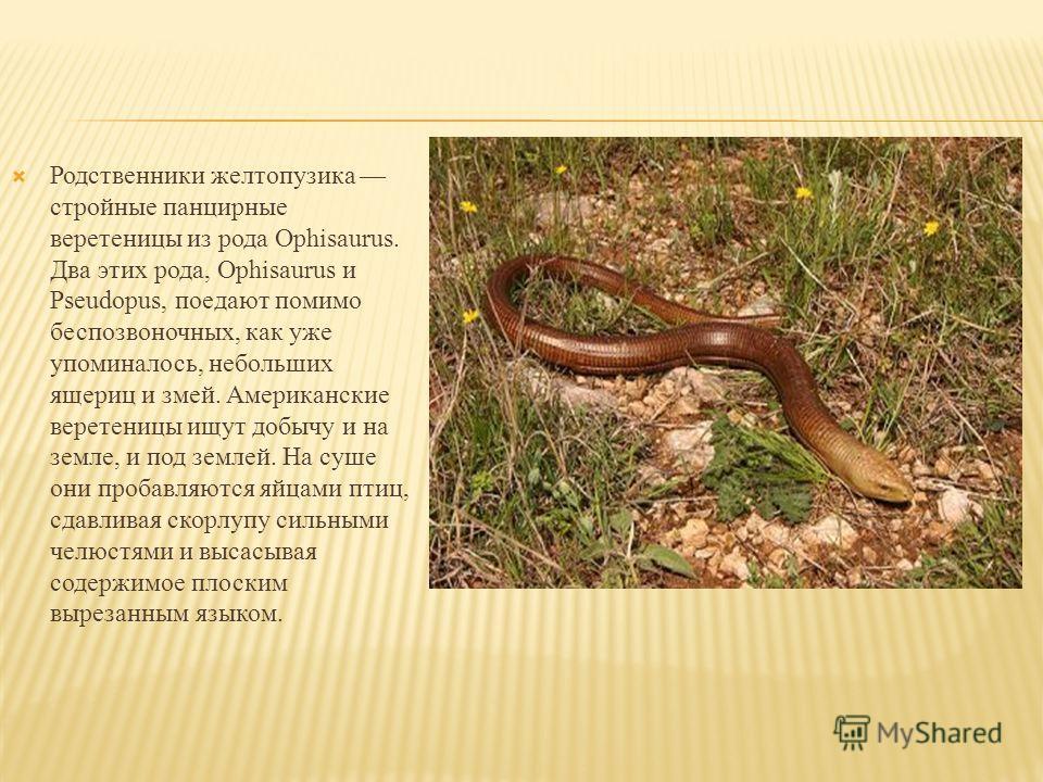 Родственники желтопузика стройные панцирные веретеницы из рода Ophisaurus. Два этих рода, Ophisaurus и Pseudopus, поедают помимо беспозвоночных, как уже упоминалось, небольших ящериц и змей. Американские веретеницы ищут добычу и на земле, и под земле