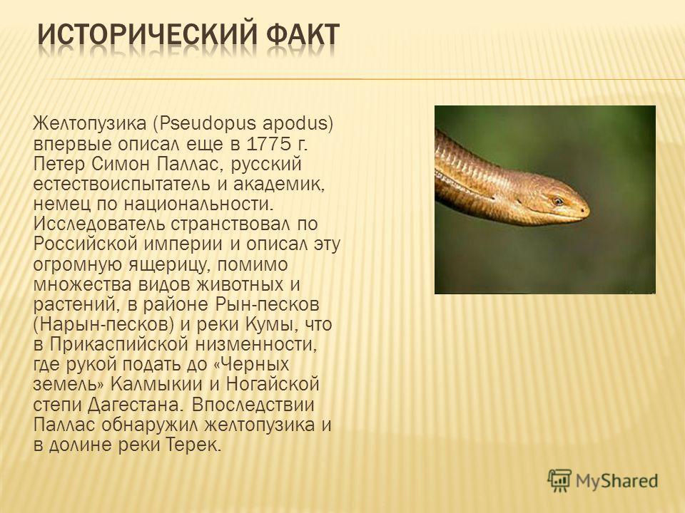 Желтопузика (Pseudopus apodus) впервые описал еще в 1775 г. Петер Симон Паллас, русский естествоиспытатель и академик, немец по национальности. Исследователь странствовал по Российской империи и описал эту огромную ящерицу, помимо множества видов жив