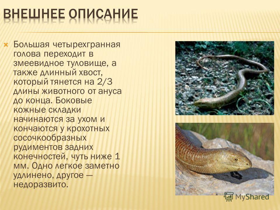 Большая четырехгранная голова переходит в змеевидное туловище, а также длинный хвост, который тянется на 2/3 длины животного от ануса до конца. Боковые кожные складки начинаются за ухом и кончаются у крохотных сосочкообразных рудиментов задних конечн