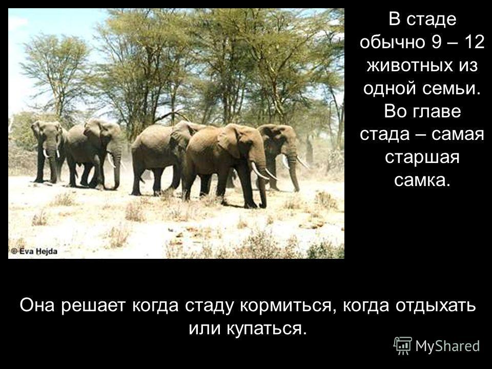 Слоны живут стадами.