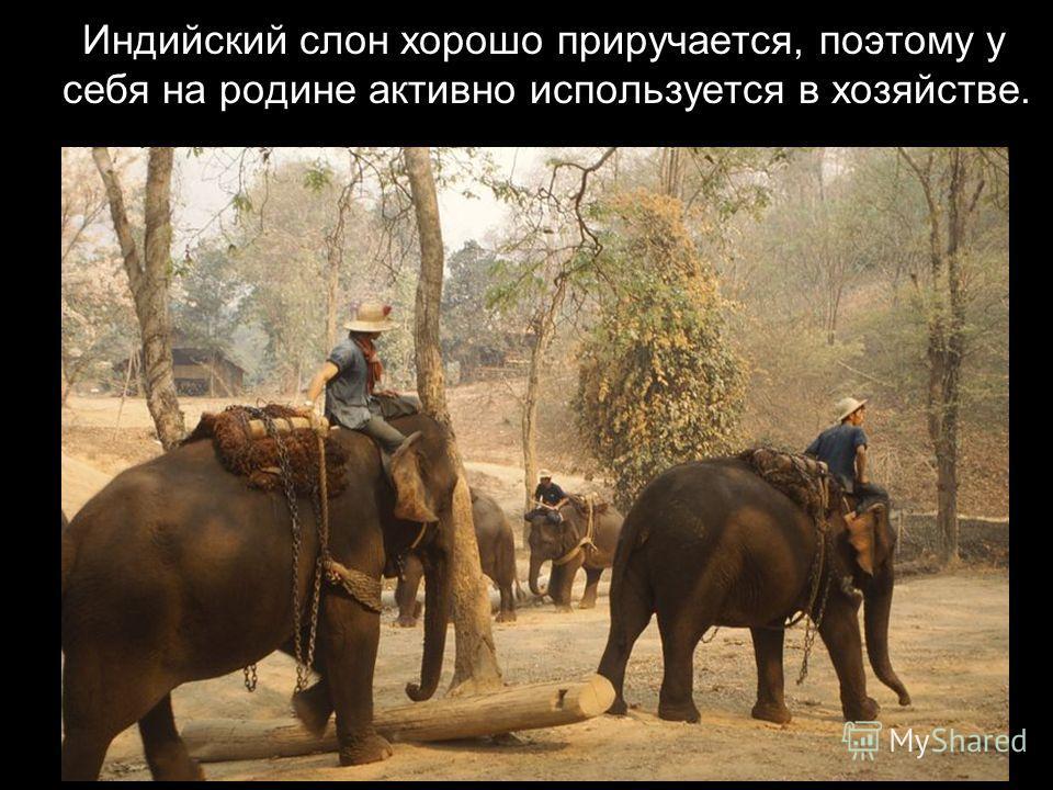 Обитает в джунглях Индии и Индокитая.