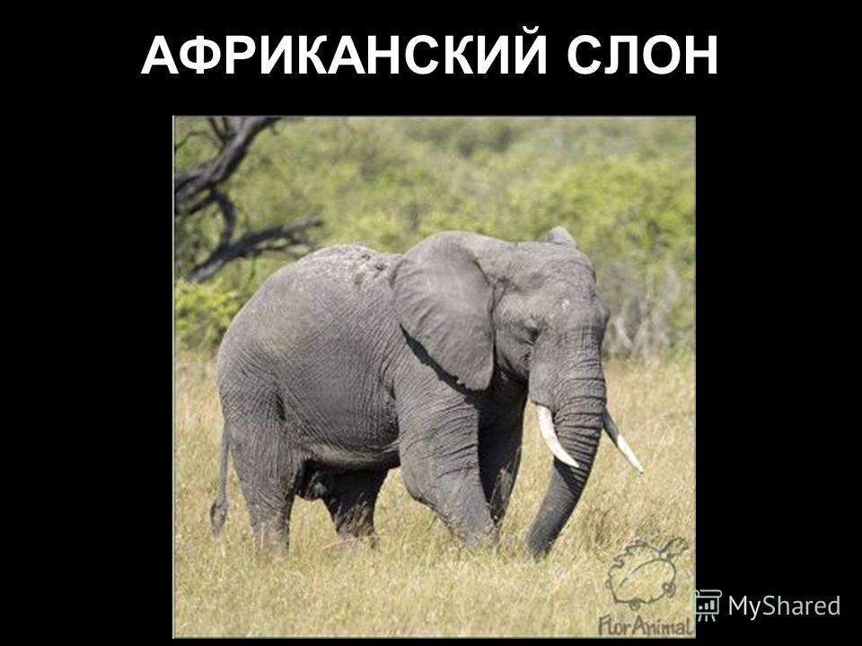 Индийский слон хорошо приручается, поэтому у себя на родине активно используется в хозяйстве.