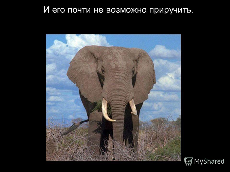 В отличии от индийского, африканский слон крупнее.