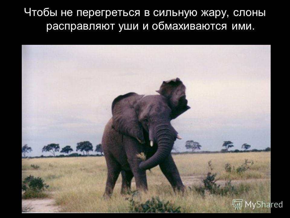Изо рта у слона торчат два огромных зуба, которые называются бивнями.