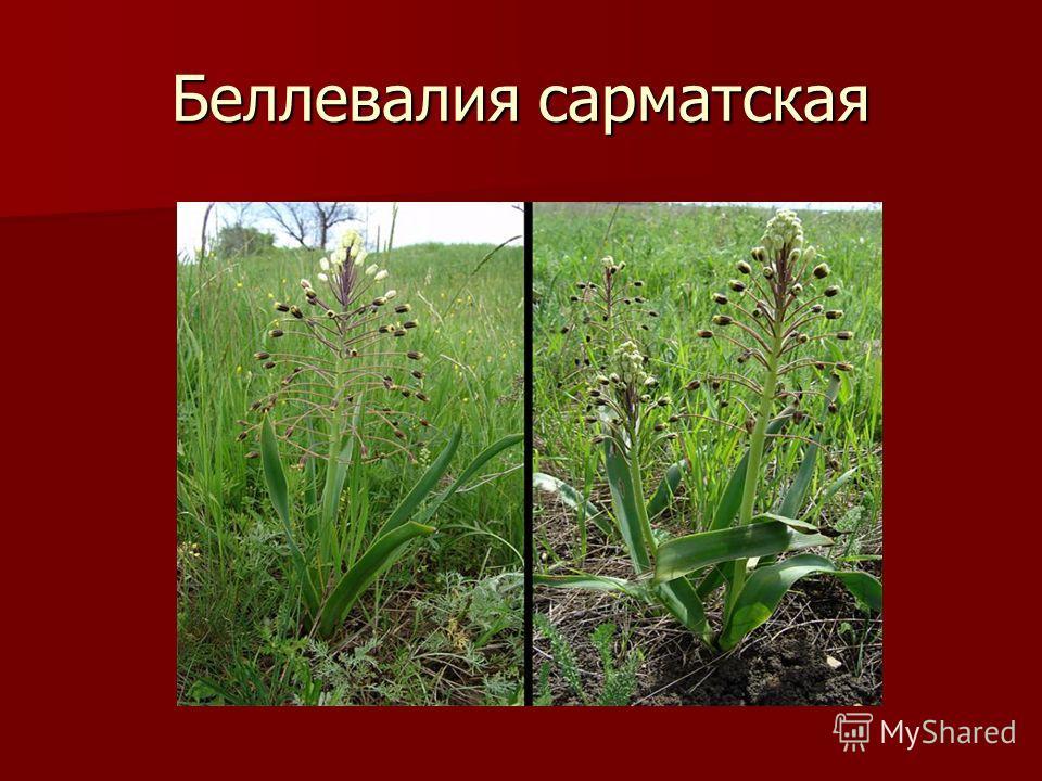 Беллевалия сарматская