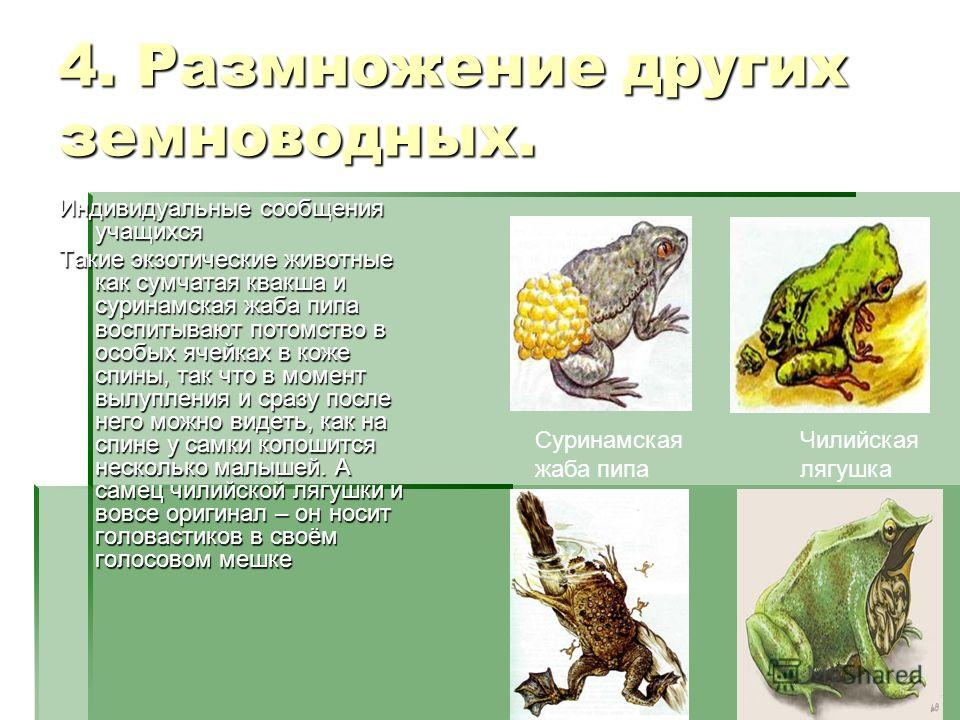 4. Размножение других земноводных. Индивидуальные сообщения учащихся Такие экзотические животные как сумчатая квакша и суринамская жаба пипа воспитывают потомство в особых ячейках в коже спины, так что в момент вылупления и сразу после него можно вид