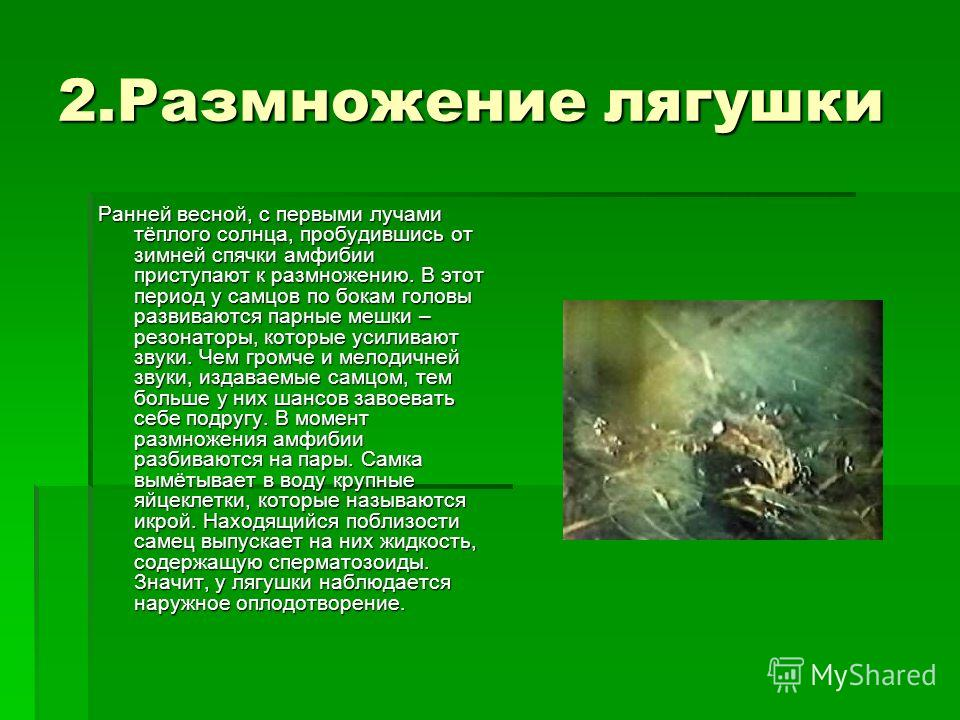 2.Размножение лягушки Ранней весной, с первыми лучами тёплого солнца, пробудившись от зимней спячки амфибии приступают к размножению. В этот период у самцов по бокам головы развиваются парные мешки – резонаторы, которые усиливают звуки. Чем громче и