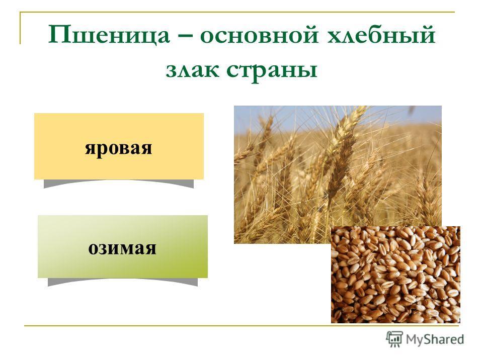 Пшеница – основной хлебный злак страны озимая яровая