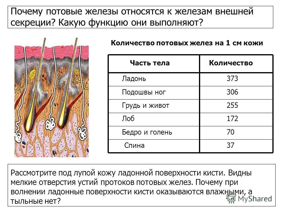 Почему потовые железы относятся к железам внешней секреции? Какую функцию они выполняют? Количество потовых желез на 1 см кожи Часть телаКоличество Ладонь373 Подошвы ног306 Грудь и живот255 Лоб 172 Бедро и голень70 Спина37 Рассмотрите под лупой кожу