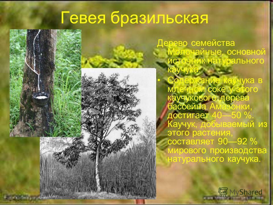 Гевея бразильская Дерево семейства Молочайные, основной источник натурального каучука. Содержание каучука в млечном соке у этого каучукового дерева бассейна Амазонки, достигает 4050 %. Каучук, добываемый из этого растения, составляет 9092 % мирового