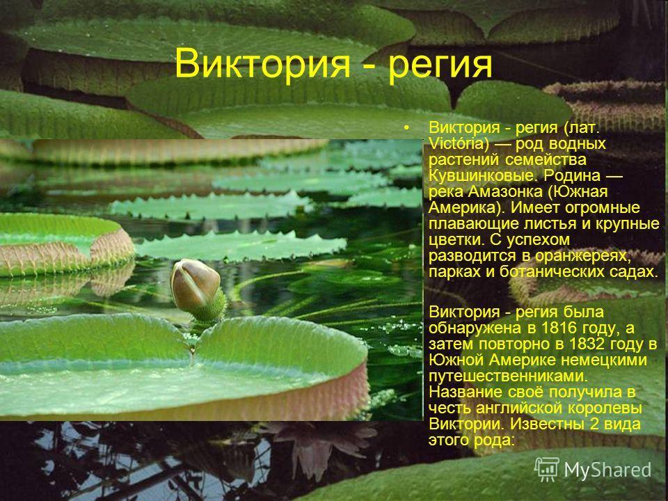 Виктория - регия Виктория - регия (лат. Victória) род водных растений семейства Кувшинковые. Родина река Амазонка (Южная Америка). Имеет огромные плавающие листья и крупные цветки. С успехом разводится в оранжереях, парках и ботанических садах. Викто