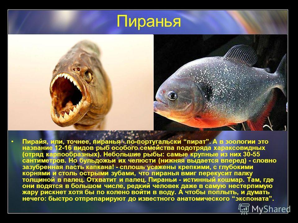 Пиранья Пирайя, или, точнее, пиранья - по-португальски пират. А в зоологии это название 12-16 видов рыб особого семейства подотряда хараксовидных (отряд карпообразных). Небольшие рыбы: самые крупные из них 30-55 сантиметров. Но бульдожьи их челюсти (