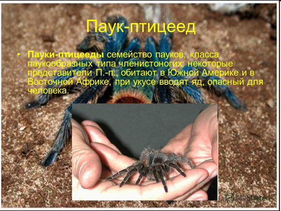 Паук-птицеед Пауки-птицееды семейство пауков, класса паукообразных типа членистоногих; некоторые представители П.-п., обитают в Южной Америке и в Восточной Африке, при укусе вводят яд, опасный для человека.