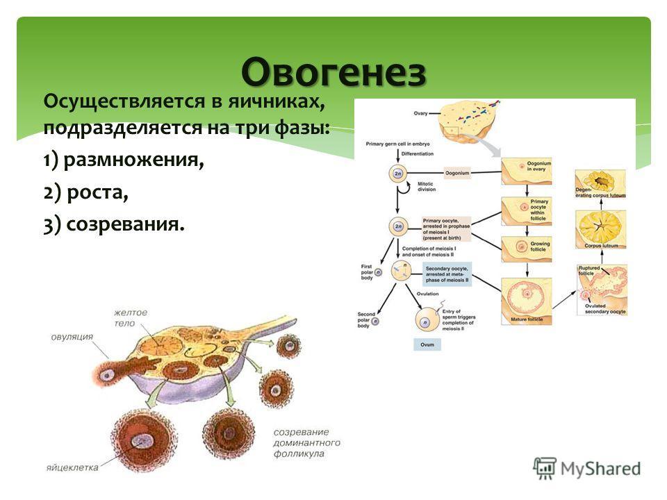 Осуществляется в яичниках, подразделяется на три фазы: 1) размножения, 2) роста, 3) созревания. Овогенез
