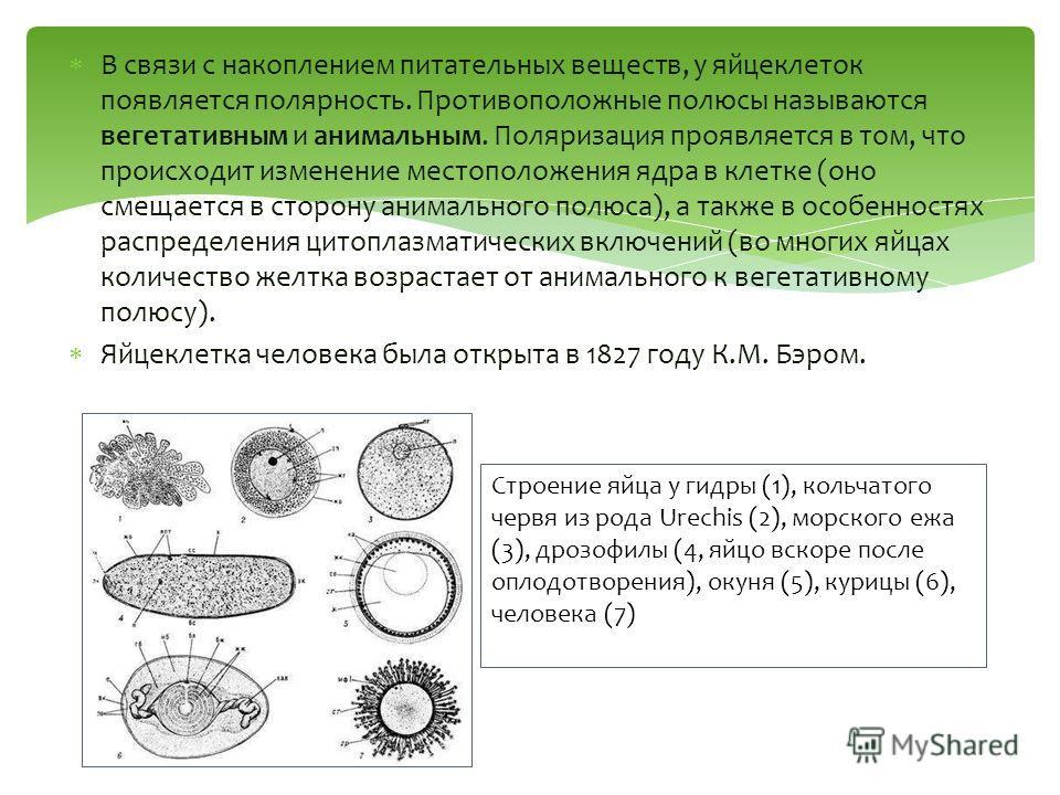 В связи с накоплением питательных веществ, у яйцеклеток появляется полярность. Противоположные полюсы называются вегетативным и анимальным. Поляризация проявляется в том, что происходит изменение местоположения ядра в клетке (оно смещается в сторону