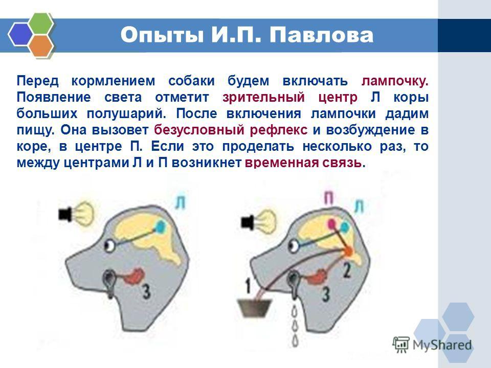 Перед кормлением собаки будем включать лампочку. Появление света отметит зрительный центр Л коры больших полушарий. После включения лампочки дадим пищу. Она вызовет безусловный рефлекс и возбуждение в коре, в центре П. Если это проделать несколько ра