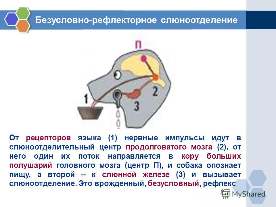 От рецепторов языка (1) нервные импульсы идут в слюноотделительный центр продолговатого мозга (2), от него один их поток направляется в кору больших полушарий головного мозга (центр П), и собака опознает пищу, а второй – к слюнной железе (3) и вызыва