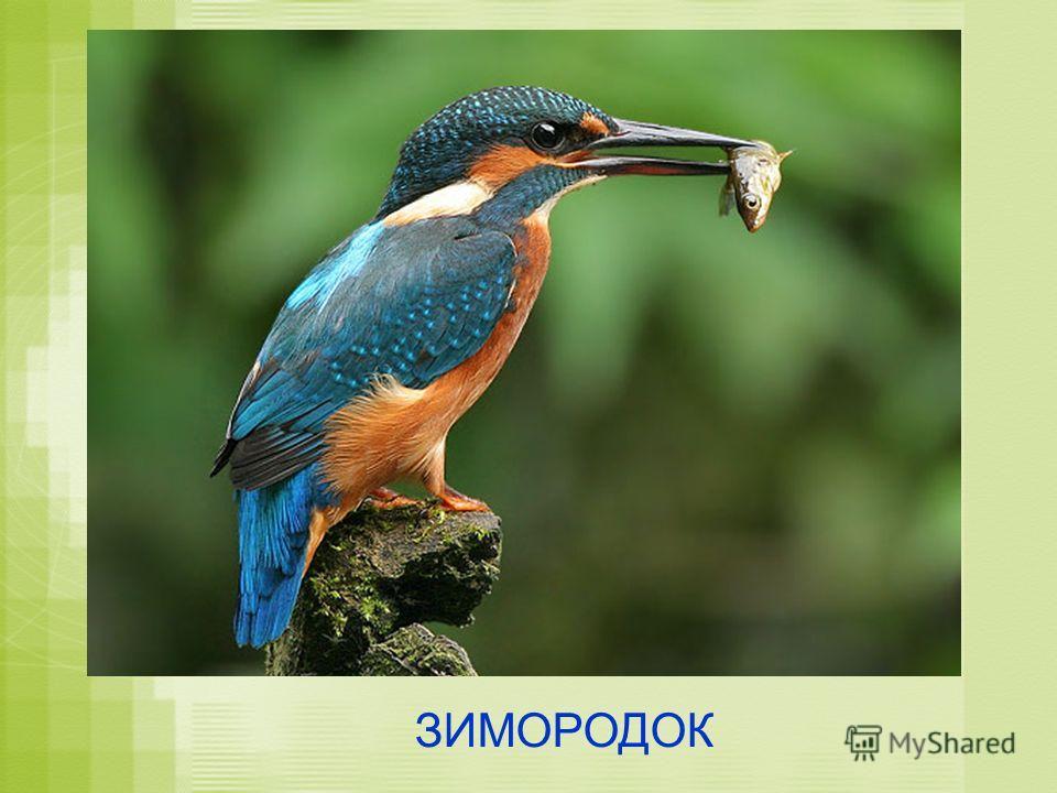 ЗИМОРОДОК
