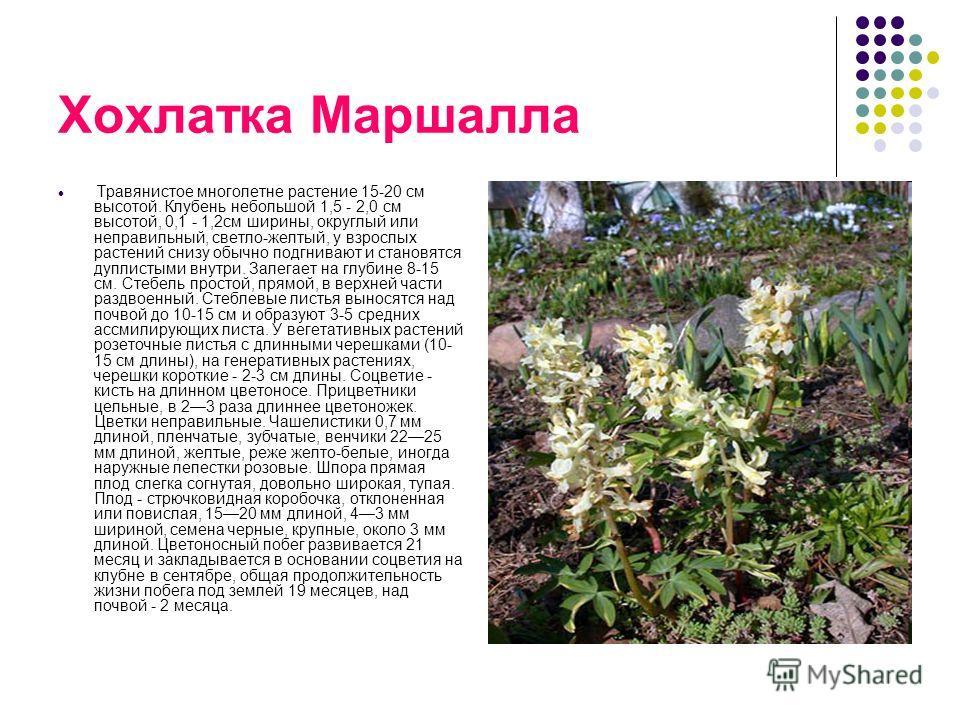 Хохлатка Маршалла Травянистое многолетне растение 15-20 см высотой. Клубень небольшой 1,5 - 2,0 см высотой, 0,1 - 1,2см ширины, округлый или неправильный, светло-желтый, у взрослых растений снизу обычно подгнивают и становятся дуплистыми внутри. Зале