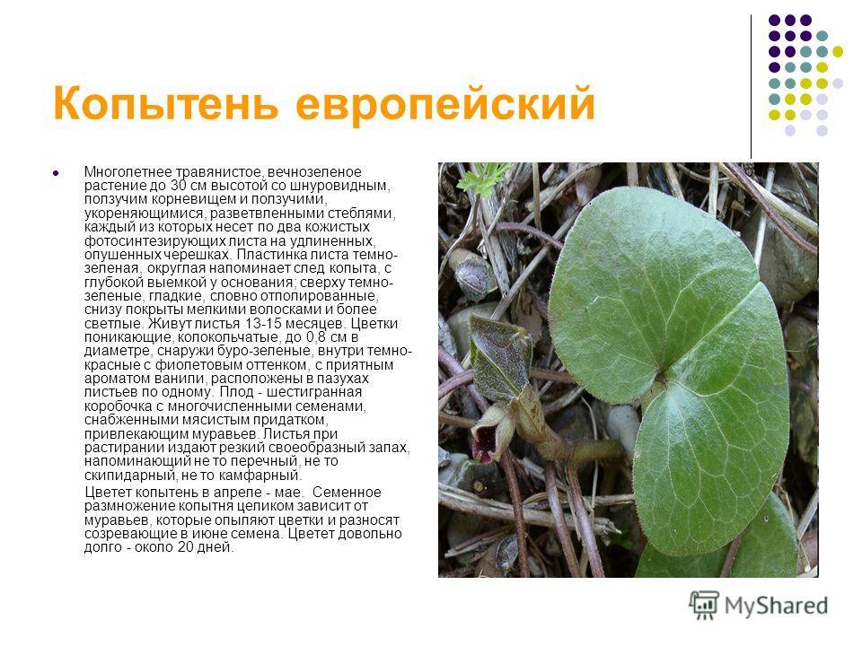 Копытень европейский Многолетнее травянистое, вечнозеленое растение до 30 см высотой со шнуровидным, ползучим корневищем и ползучими, укореняющимися, разветвленными стеблями, каждый из которых несет по два кожистых фотосинтезирующих листа на удлиненн
