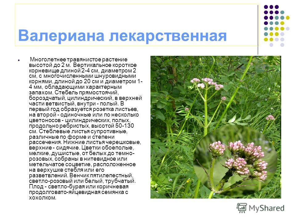 Валериана лекарственная Многолетнее травянистое растение высотой до 2 м. Вертикальное короткое корневище длиной 2-4 см, диаметром 2 см, с многочисленными шнуровидными корнями, длиной до 20 см и диаметром 1- 4 мм, обладающими характерным запахом. Стеб