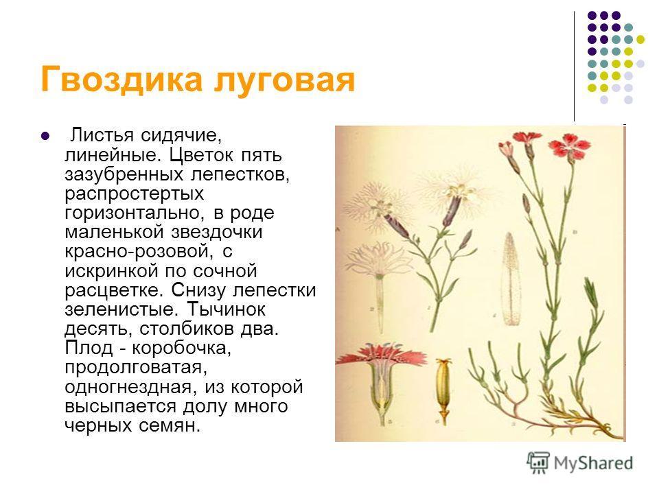Гвоздика луговая Листья сидячие, линейные. Цветок пять зазубренных лепестков, распростертых горизонтально, в роде маленькой звездочки красно-розовой, с искринкой по сочной расцветке. Снизу лепестки зеленистые. Тычинок десять, столбиков два. Плод - ко