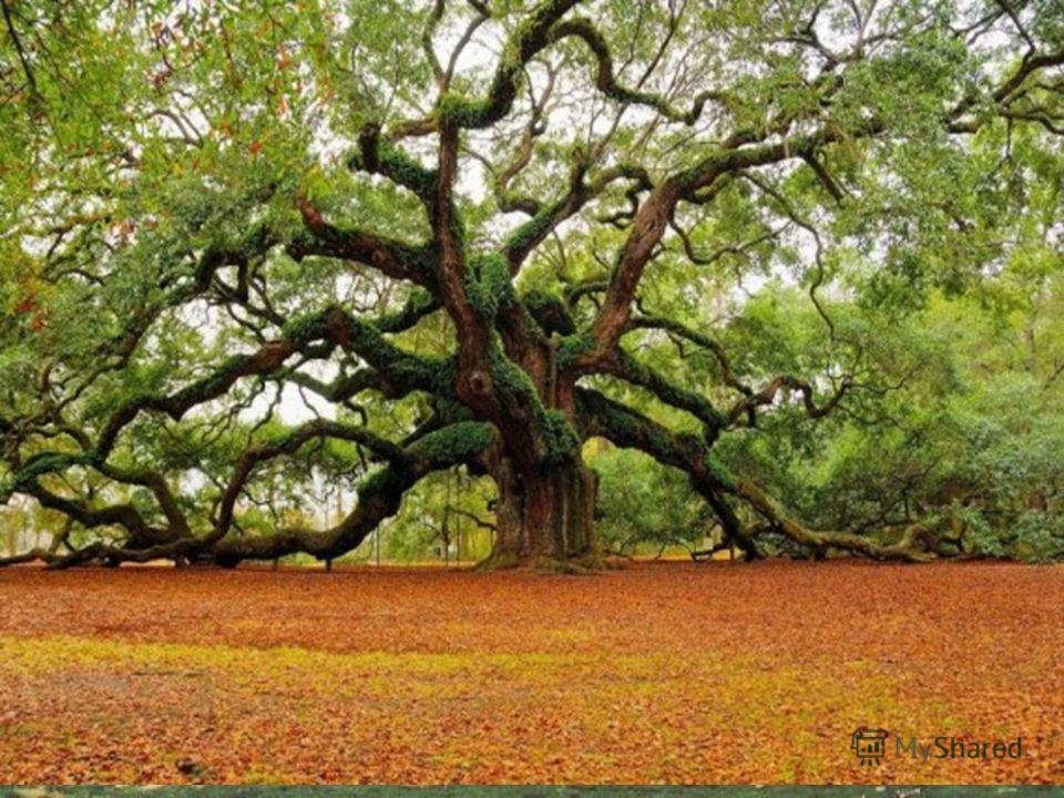 Деревья Де́рево типичная форма деревянистых растений, имеющих ствол, из древесины с лиственной кроной.