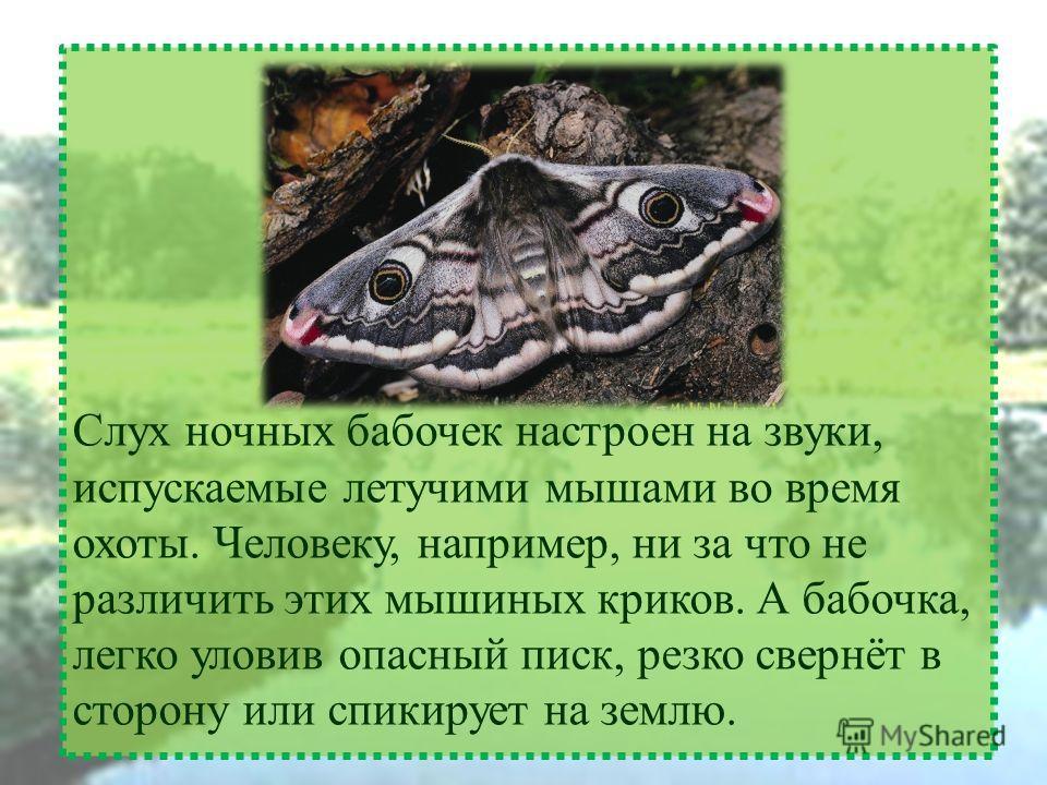 Слух ночных бабочек настроен на звуки, испускаемые летучими мышами во время охоты. Человеку, например, ни за что не различить этих мышиных криков. А бабочка, легко уловив опасный писк, резко свернёт в сторону или спикирует на землю.