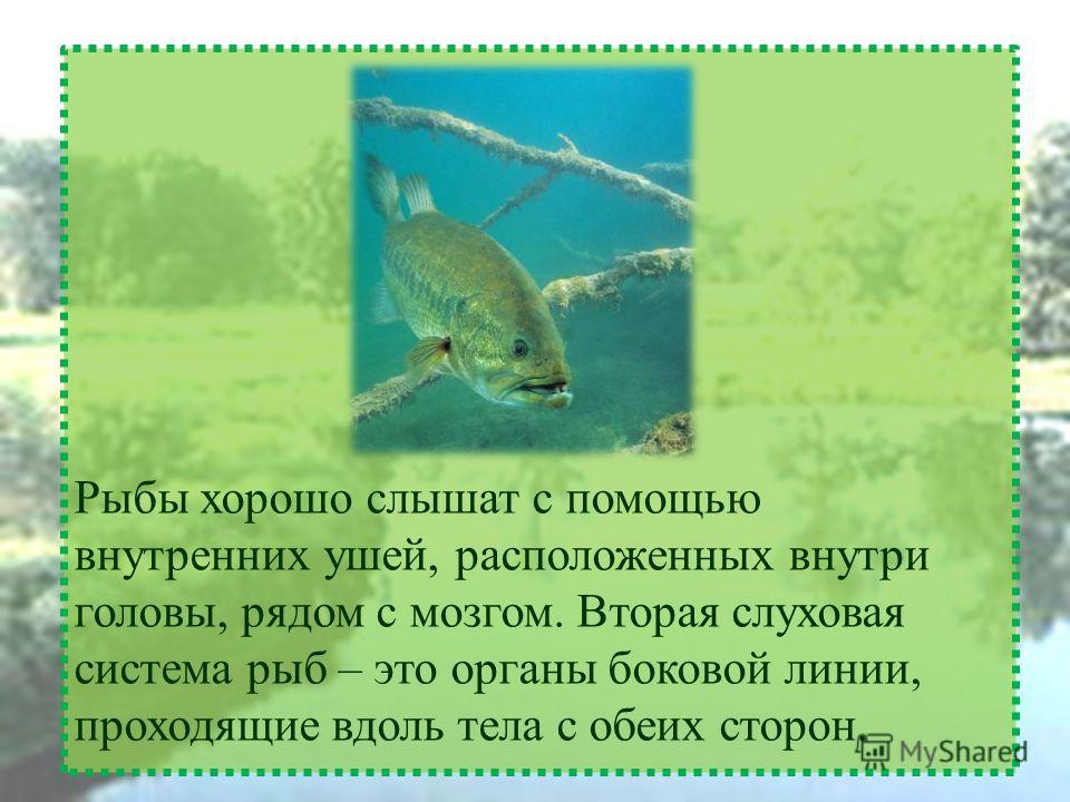 Рыбы хорошо слышат с помощью внутренних ушей, расположенных внутри головы, рядом с мозгом. Вторая слуховая система рыб – это органы боковой линии, проходящие вдоль тела с обеих сторон.