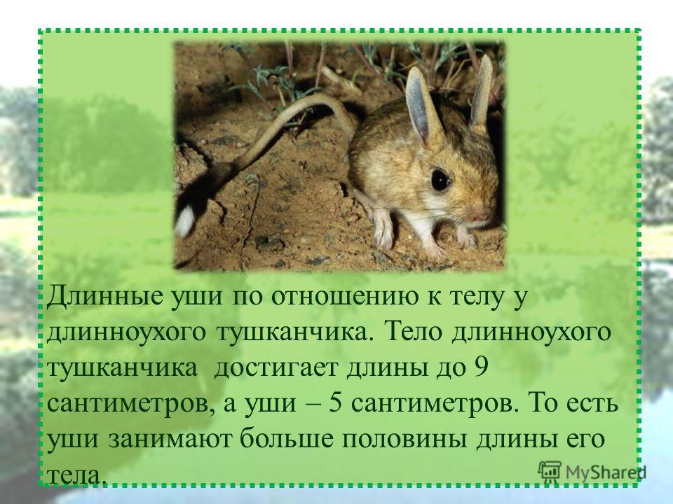 Длинные уши по отношению к телу у длинноухого тушканчика. Тело длинноухого тушканчика достигает длины до 9 сантиметров, а уши – 5 сантиметров. То есть уши занимают больше половины длины его тела.