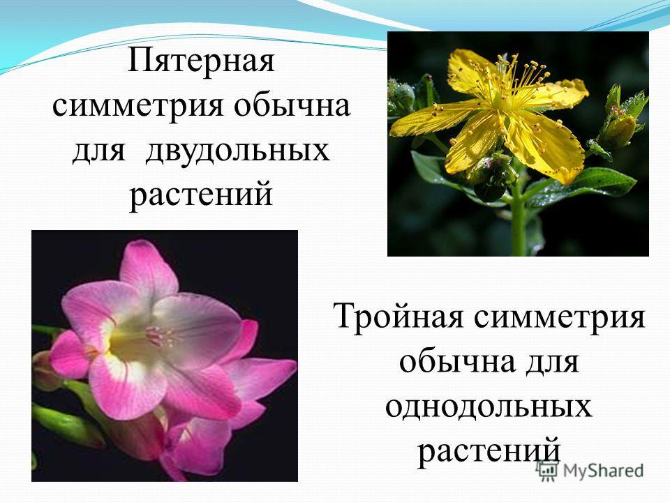 Радиальная и билатеральная симметрия. Цветки, имея парные части, считаются цветками с двойной симметрией