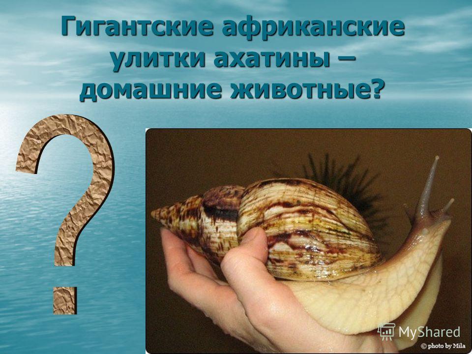Гигантские африканские улитки ахатины – домашние животные?