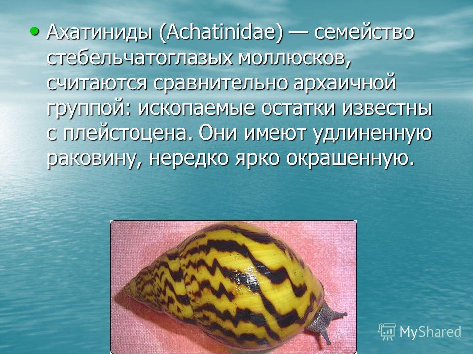 Ахатиниды (Achatinidae) семейство стебельчатоглазых моллюсков, считаются сравнительно архаичной группой: ископаемые остатки известны с плейстоцена. Они имеют удлиненную раковину, нередко ярко окрашенную. Ахатиниды (Achatinidae) семейство стебельчатог