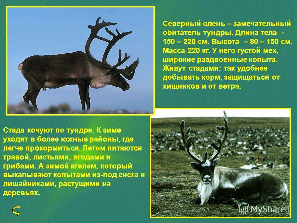 Северный олень – замечательный обитатель тундры. Длина тела - 150 – 220 см. Высота – 80 – 150 см. Масса 220 кг. У него густой мех, широкие раздвоенные копыта. Живут стадами: так удобнее добывать корм, защищаться от хищников и от ветра. Стада кочуют п
