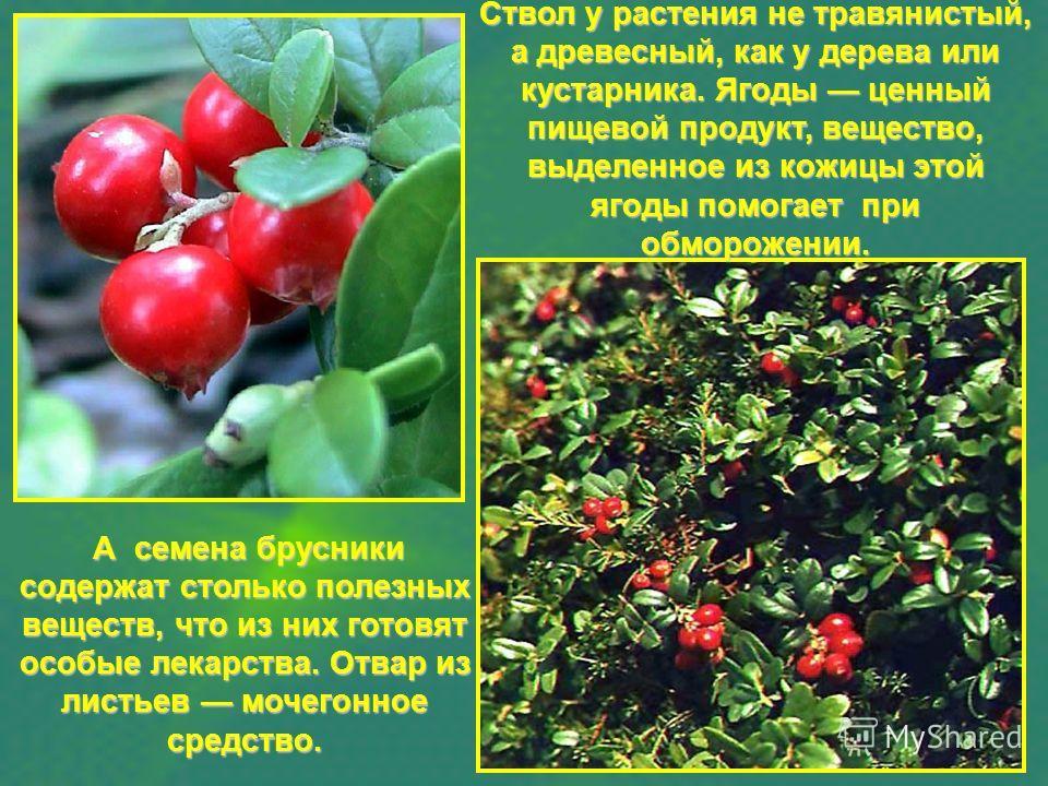 Ствол у растения не травянистый, а древесный, как у дерева или кустарника. Ягоды ценный пищевой продукт, вещество, выделенное из кожицы этой ягоды помогает при обморожении. А семена брусники содержат столько полезных веществ, что из них готовят особы