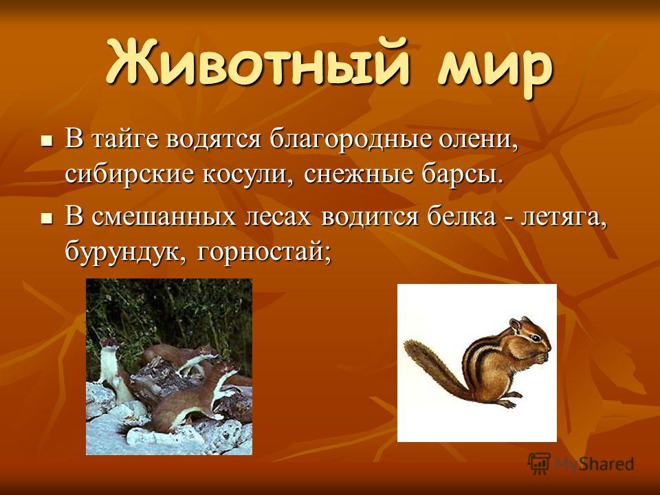 Животный мир В тайге водятся благородные олени, сибирские косули, снежные барсы. В тайге водятся благородные олени, сибирские косули, снежные барсы. В смешанных лесах водится белка - летяга, бурундук, горностай; В смешанных лесах водится белка - летя