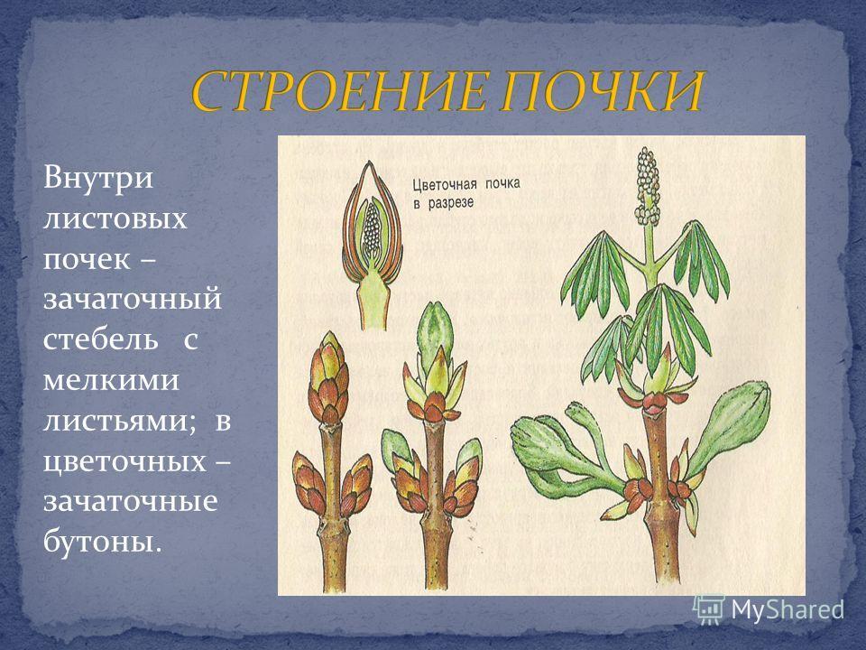 Внутри листовых почек – зачаточный стебель с мелкими листьями; в цветочных – зачаточные бутоны.