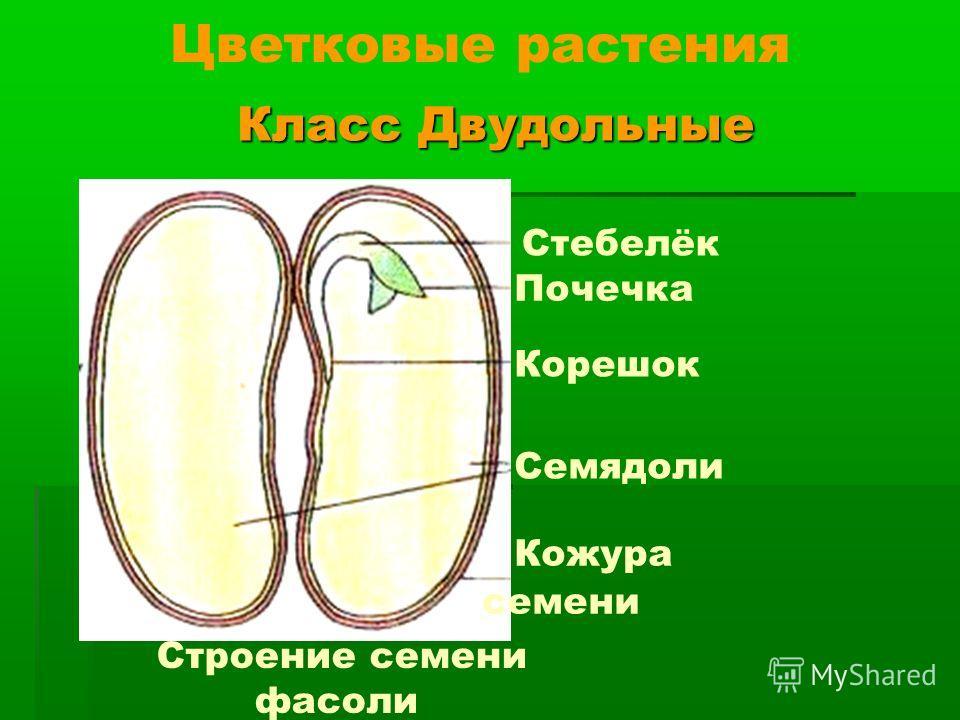 Класс Двудольные Класс Двудольные Цветковые растения Семядоли Кожура семени Корешок Стебелёк Почечка Строение семени фасоли