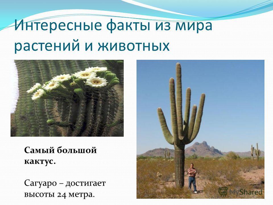 Интересные факты из мира растений и животных Самый большой кактус. Сагуаро – достигает высоты 24 метра.