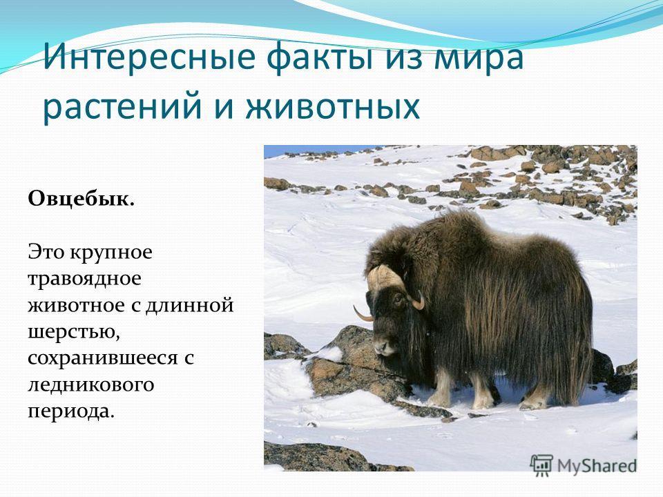 Интересные факты из мира растений и животных Овцебык. Это крупное травоядное животное с длинной шерстью, сохранившееся с ледникового периода.