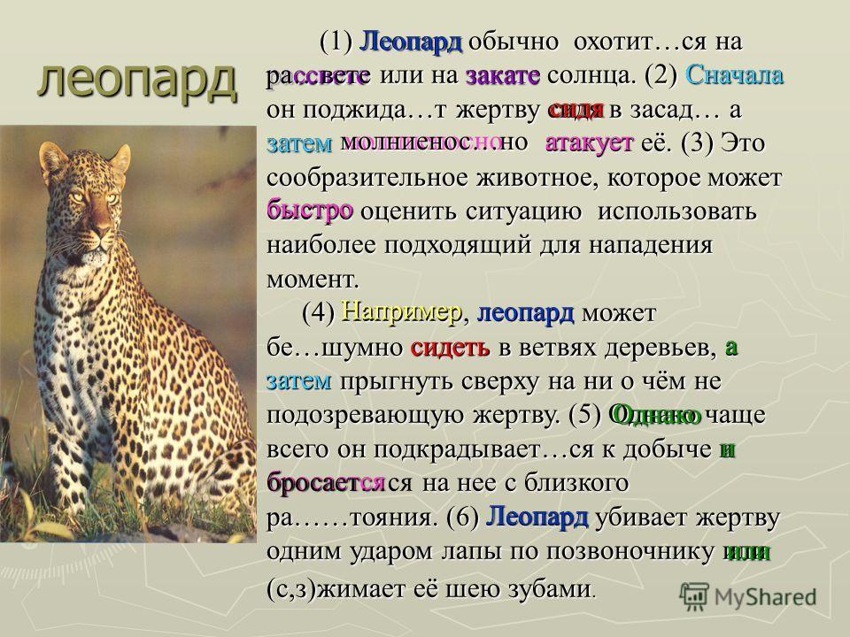 леопард (1) Леопард обычно охотит…ся на (1) Леопард обычно охотит…ся на или на закате солнца. (2) Сначала он поджида…т жертву сидя в засад… а затем атакует её. (3) Это сообразительное животное, которое может быстро оценить ситуацию использовать наибо