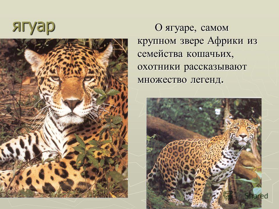 ягуар О ягуаре, самом крупном звере Африки из семейства кошачьих, охотники рассказывают множество легенд.