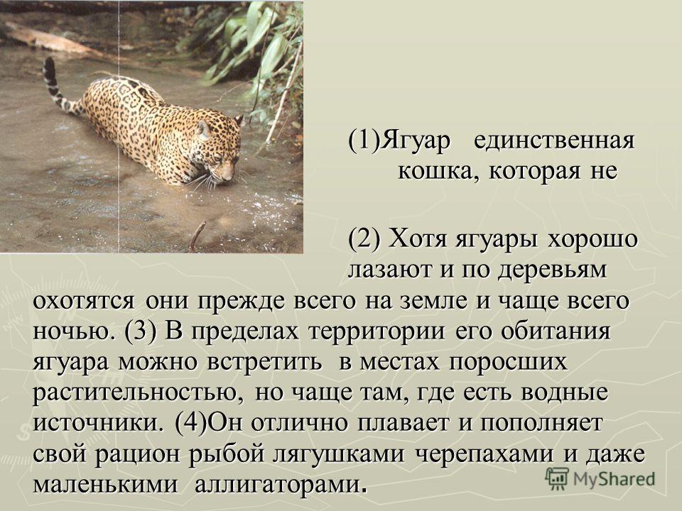 (1)Ягуар единственная кошка, которая не рычит. (2) Хотя ягуары хорошо лазают и по деревьям охотятся они прежде всего на земле и чаще всего ночью. (3) В пределах территории его обитания ягуара можно встретить в местах поросших растительностью, но чаще