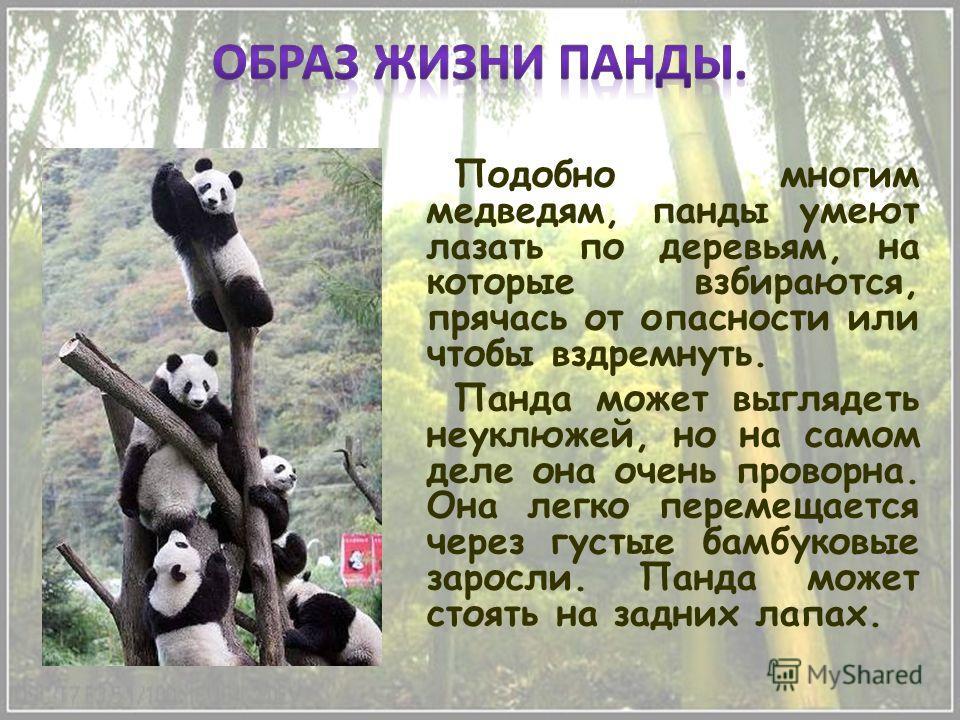 Подобно многим медведям, панды умеют лазать по деревьям, на которые взбираются, прячась от опасности или чтобы вздремнуть. Панда может выглядеть неуклюжей, но на самом деле она очень проворна. Она легко перемещается через густые бамбуковые заросли. П