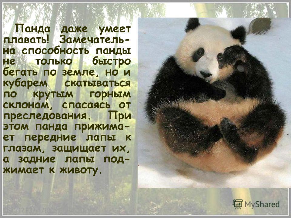 Панда даже умеет плавать! Замечатель- на способность панды не только быстро бегать по земле, но и кубарем скатываться по крутым горным склонам, спасаясь от преследования. При этом панда прижима- ет передние лапы к глазам, защищает их, а задние лапы п