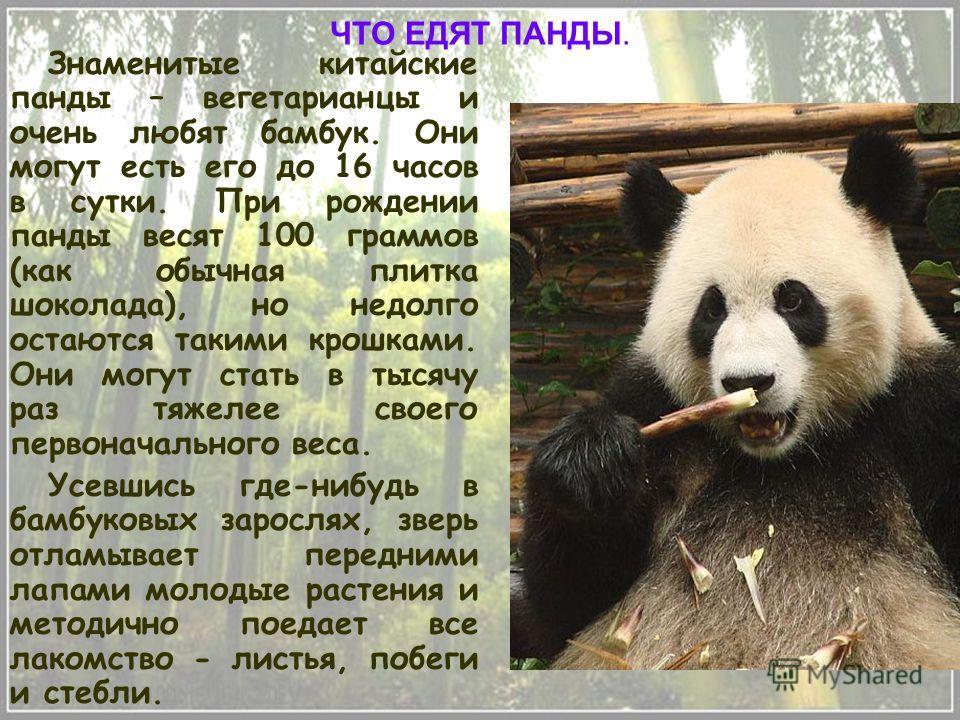 Знаменитые китайские панды – вегетарианцы и очень любят бамбук. Они могут есть его до 16 часов в сутки. При рождении панды весят 100 граммов (как обычная плитка шоколада), но недолго остаются такими крошками. Они могут стать в тысячу раз тяжелее свое